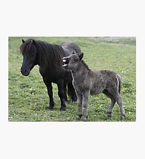 Shetland pony Foal and mare Photographic Print