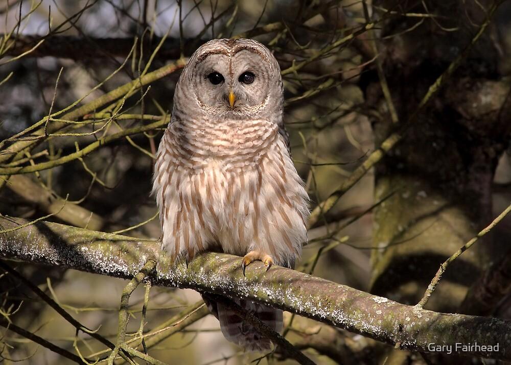 Barred Owl in Dappled Light by Gary Fairhead