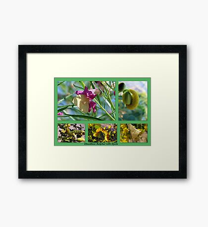 Cloudless Sulphur Life Cycle  Framed Print