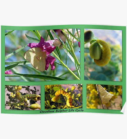 Cloudless Sulphur Life Cycle  Poster