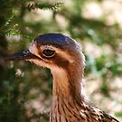 Bush Stone-Curlew, Perth Zoo by Ashli Zis