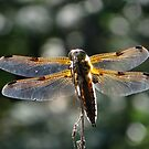 The four-spotted Chaser by ienemien