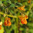 Spotted Touch-Me-Not- Impatiens capensis by Tracy Wazny