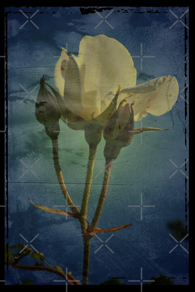 Vintage White Rose by Sophie Watson