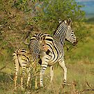 Mom and Baby Zebra by Tracy Riddell
