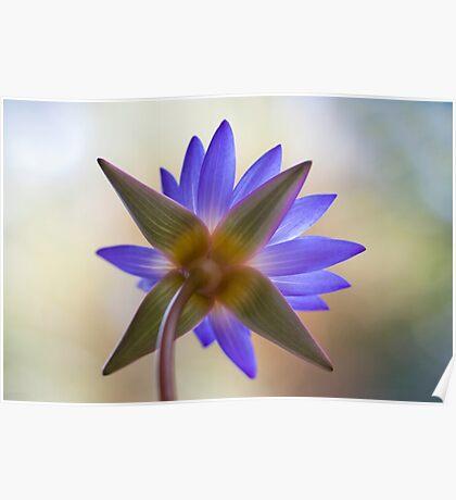 Shining Thru Two - purple waterlilly  Poster