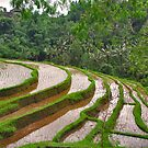 Young rice on terraces by Adri  Padmos