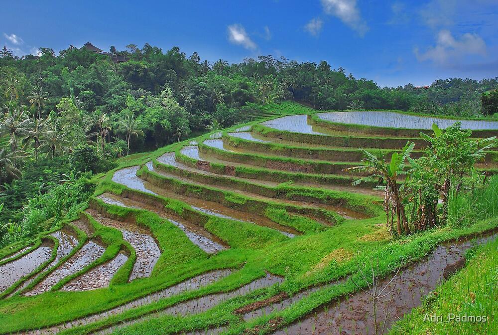 Batukaru rice terraces by Adri  Padmos