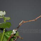 Cicadellid Nymph - Scaphytopius - La Mirada, CA USA by leih2008