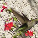 Hummingbird visit Hot Lips Sage; Aguilar Garden, La Mirada, CA USA All Rights Reserved Lei Hedger Photography by leih2008