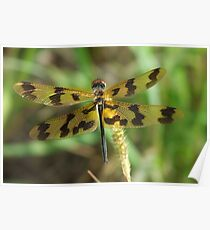 Banded Flutterer Dragonfly Poster
