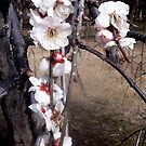 Plum blossom in Japan by KellyThomas