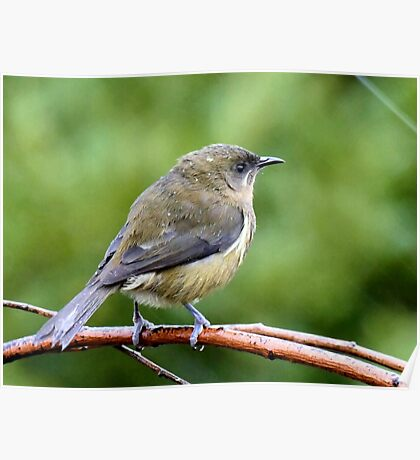 My Mate Is More Handome  - Female Bellbird - NZ Poster