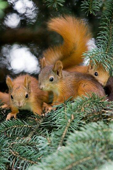 Baby Squirrel Play by Sergey Bezberdy
