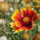 Blanket Flower, Indian Blanket~Gaillardia Aristata  by Bonnie Robert
