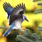 Blue Spruce / Bluejay by Gary Fairhead