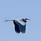 Blue Heron in Flight by Memaa