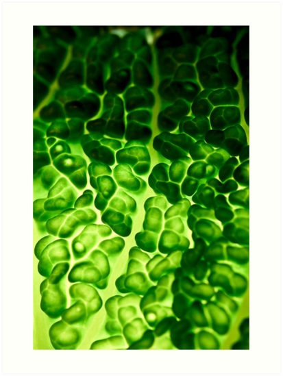 Close-up of a backlit savoy cabbage by Gabor Pozsgai