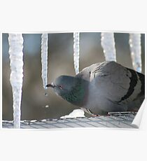 Drinking Dove Poster
