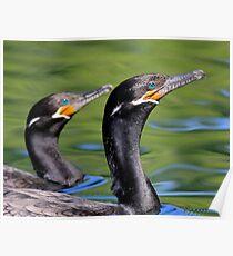 Neotropic Cormorants Poster