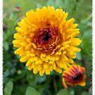 Very Merry Golden Marigold by KateMcCSeattle
