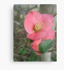 Flowering quince Metal Print