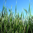 Reeds by marinar