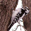 Woodpecker by shutterbug2010