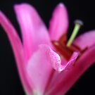 Pink Lily. by Vitta