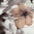 Cherries by mewalsh