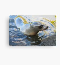 Galapagos Sea Lion Canvas Print