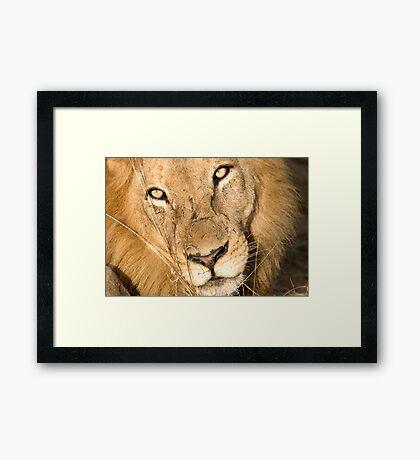 Male Lion - Here's Lookin' At Ya Framed Print