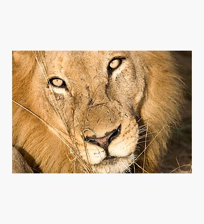 Male Lion - Here's Lookin' At Ya Photographic Print