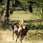 Wilderbeast, Namibia by Sheila Smith