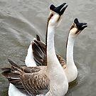 Noisy Geese!! by DottieDees
