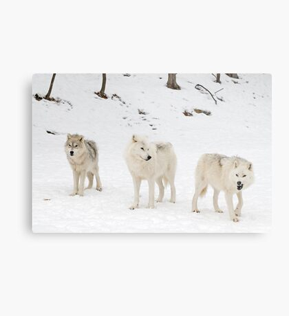 Three Bad Wolves Metal Print