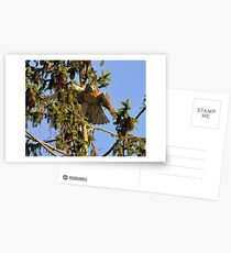 Juvenile Red-Tailed Hawk Postcards