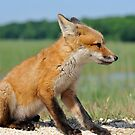 Red Fox Kit by angelcher