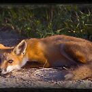 Red Fox Waiting and Watching by angelcher