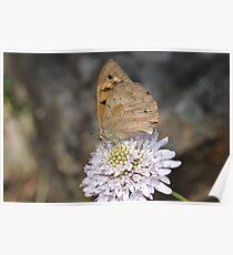 Australian Butterfly Poster