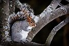 Grey Squirrel in Tree - Ottawa, Ontario by Michael Cummings