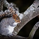 Grey Squirrel in Tree - Ottawa, Ontario by Michael Cummings