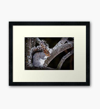 Grey Squirrel in Tree - Ottawa, Ontario Framed Print