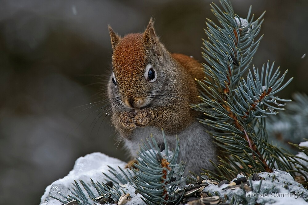 Red Squirrel in Spruce tree - Ottawa, Ontario by Michael Cummings