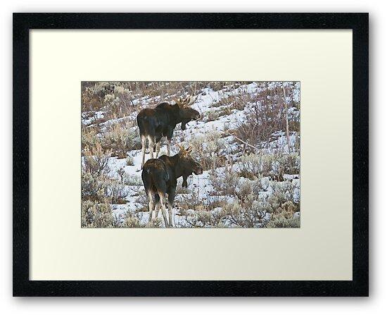Double Bull Moose by Kim Barton