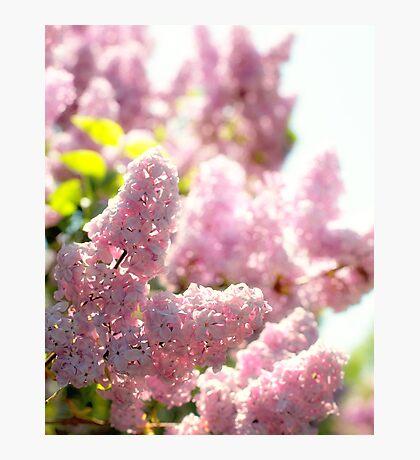 Lilac Photographic Print