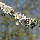 spring blooming. by zangi12