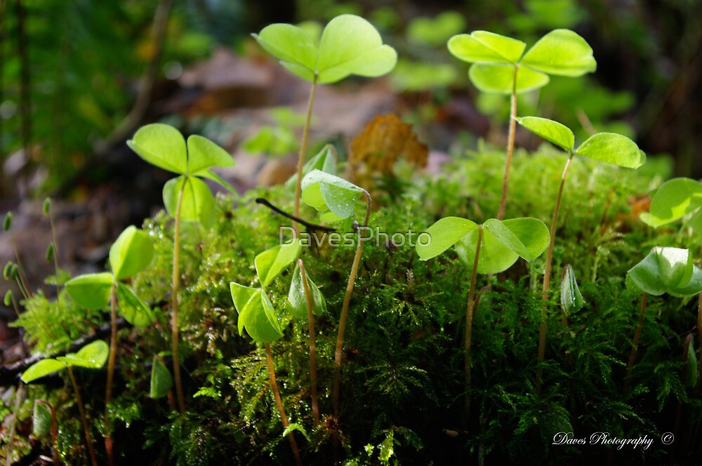 Oxalis by DavesPhoto