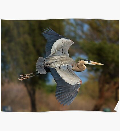 030710 Great Blue Heron Poster