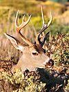 """""""The Majestic Buck"""" by Gail Jones"""